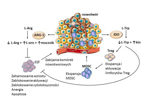 Ryc 2. Rola enzymów degradujących argininę (L-Arg) i tryptofan (L-Trp) w generowaniu supresyjnego mikrośrodowiska w guzie. Skróty: ARG-1: arginaza-1; CLT: cytotoksyczne limfocyty T; IDO: 2,3-dioksygenaza indolowa; kin: kinurenina; L-Arg: L-arginina; L-orn: L-ornityna; L-Trp: L-tryptofan; MDSC: mieloidalne komórki supresorowe; Treg: limfocyty regulatorowe.