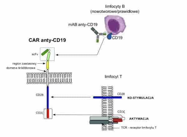 Chimeryczne receptory antygenowe CARs
